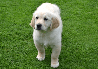 Just as giving your Golden Retriever physical and mental exercise