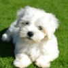maltese puppy available for sale.